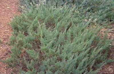 uniperus horizontalis