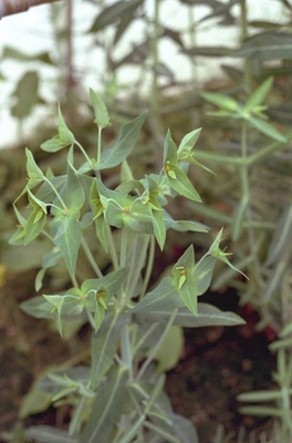 Kruisbladige wolfsmelk - Euphorbia lathyris