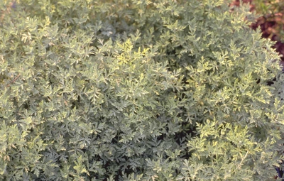Romeinse alant - Artemisia pontica