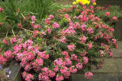Steenroosje - Daphne cneorum