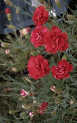 Anjer - Dianthus 'Desmond'
