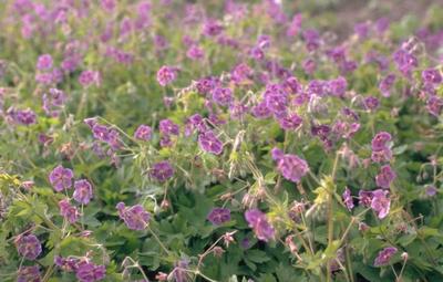 Donkere Ooievaarsbek - Geranium phaeum Rose