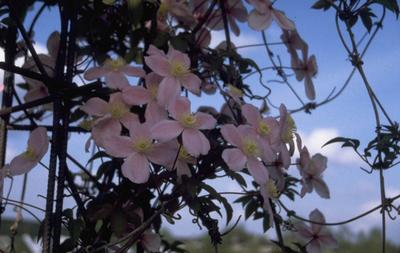 Hartlelie - Hosta lancifolia