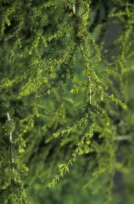 Cyprische Ceder - Cedrus libani subsp. brevifolia