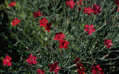 Steenanjer - Dianthus deltoides 'Flashing Light'
