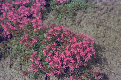 Wilde tijm - Thymus serpyllum var. coccineus
