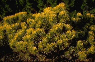 Bergden - Pinus mugo 'Winter Gold'