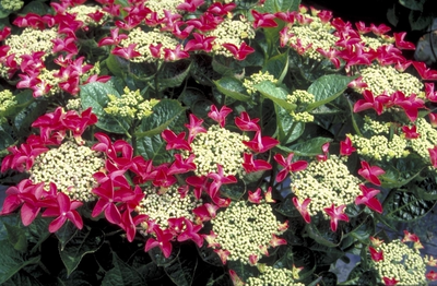 Hortensia - Hydrangea macrophylla 'Rotschwanz'