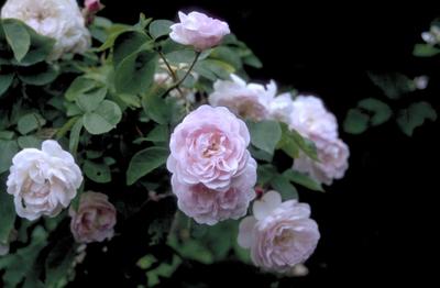 Klimroos - Rosa 'Blush Noisette'