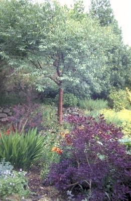 Tibetaanse sierkers - Prunus serrula