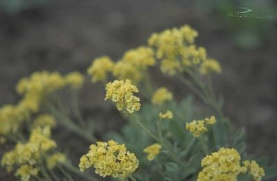 Schildzaad Alyssum montanum