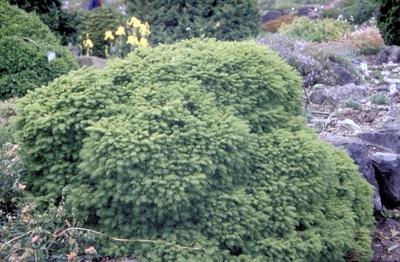 Fijnspar - Picea abies 'Little Gem'