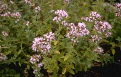 Wilde marjolein - Origanum vulgare 'Aureum'