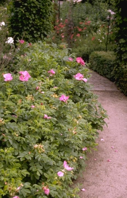 Rimpelroos - Rosa rugosa 'Rubra'