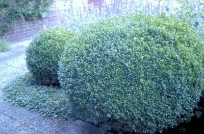 Palmboompje - Buxus sempervirens 'Bol'