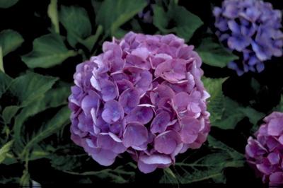 Hortensia - Hydrangea macrophylla 'Renate'