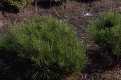 Japanse rode den - Pinus densiflora 'Alice Verkade'