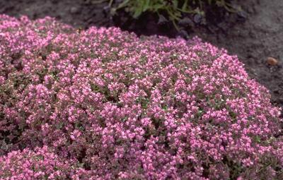 Kruiptijm - Thymus praecox 'Hall's Variety'