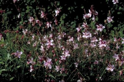 Prachtkaars - Gaura lindheimeri 'Siskiyou Pink'