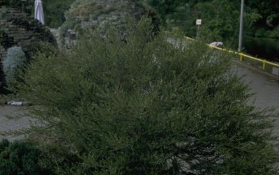Dwergberk - Betula nana