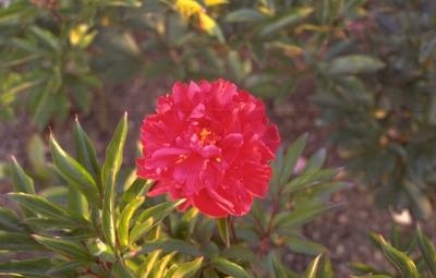 Pioen Paeonia 'Karl Rosenfield'