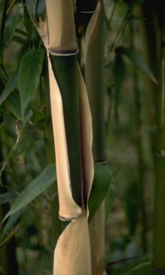 Narihiri bamboe - Semiarundinaria fastuosa