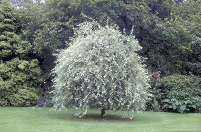 Wilgpeer - Pyrus salicifolia 'Pendula'
