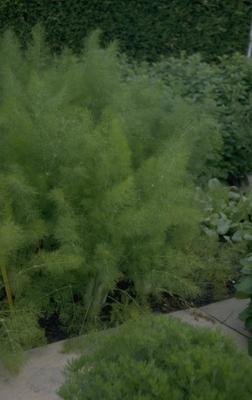 Venkel - Foeniculum vulgare