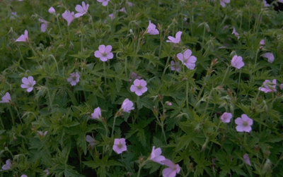 Ooievaarsbek - Geranium x oxonianum 'A.T. Johnson'
