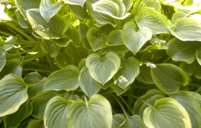 Hartlelie - Hosta 'Golden Tiara'