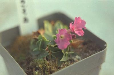 Sleutelbloem - Primula glaucescens subsp. calycina