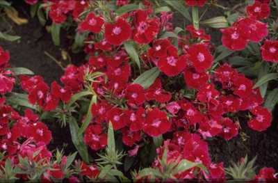 Chinese anjer - Dianthus chinensis 'Deep Violet'