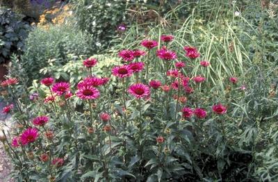 Rode Zonnehoed - Echinacea purpurea 'Vintage Wine'