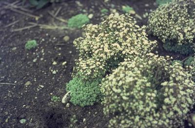 Dik vetkruid - Sedum dasyphyllum
