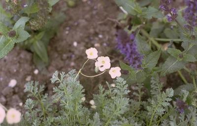 Reigersbek - Erodium chrysanthum