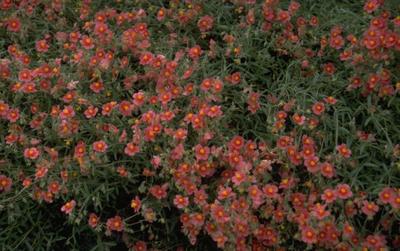 Zonneroosje - Helianthemum 'Dompfaff'