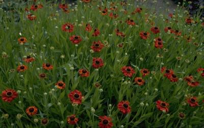 Zonnekruid - Helenium 'Kupferzwerg'