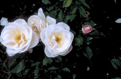 Grootbloemige roos - Rosa 'Audrey Hepburn'