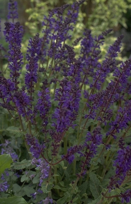 Salie - Salvia x sylvestris 'Viola Klose'