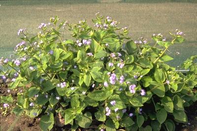 Kaukasische vergeet mij niet - Brunnera macrophylla