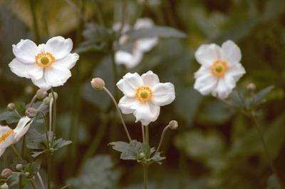 Herfstanemoon - Anemone x hybrida 'Honorine Jobert'