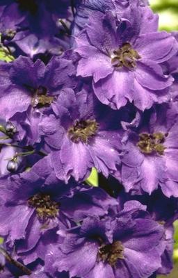 Ridderspoor - Delphinium 'Bruce'