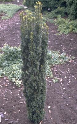 Ierse taxus - Taxus baccata 'Fastigiata'