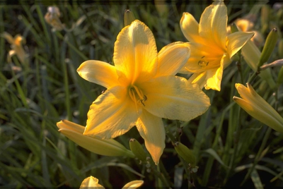 Daglelie - Hemerocallis 'Lemon Mint'