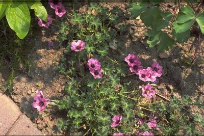 Ooievaarsbek - Geranium cinereum 'Lawrence Flatman'
