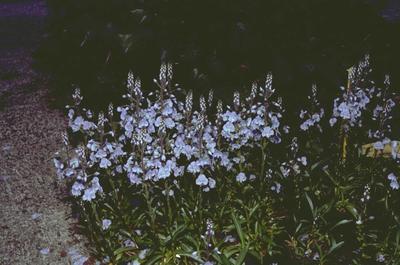 Gentiaan ereprijs - Veronica gentianoides 'Robusta'