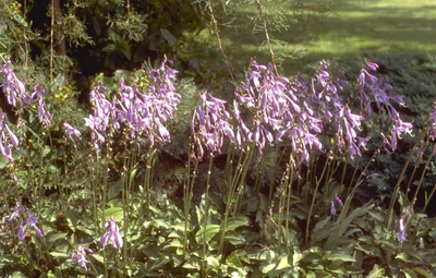 Hartlelie - Hosta minor
