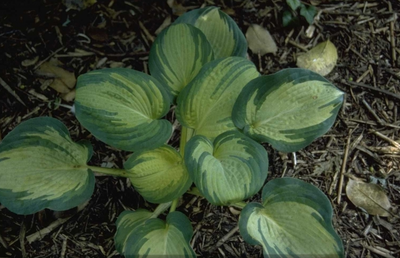 Hartlelie - Hosta sieboldiana 'Great Expectations'