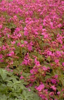 Ooievaarsbek - Geranium macrorrhizum
