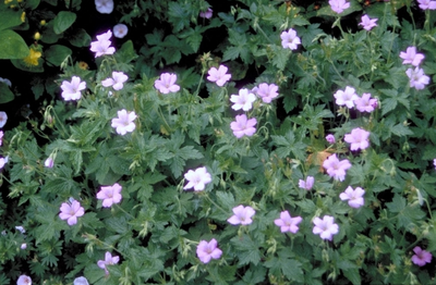 Ooievaarsbek - Geranium x oxonianum 'Walter's Gift'